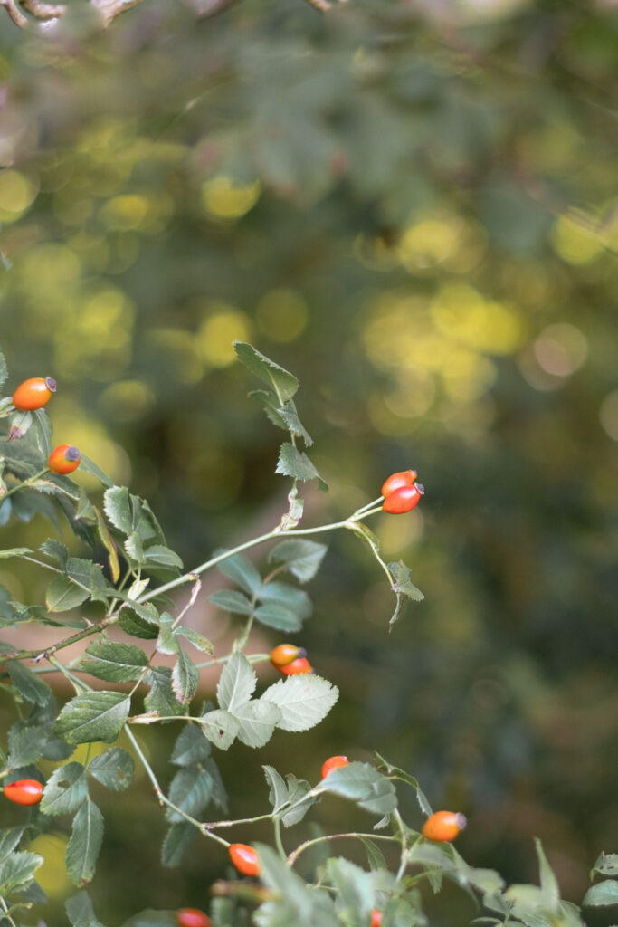 Rose hips growing in the wild