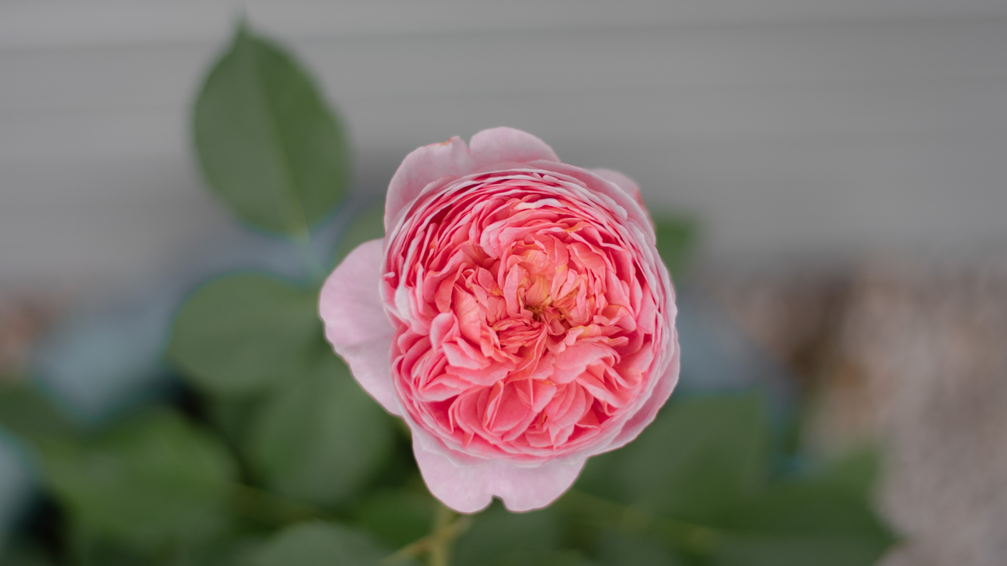 Boscobel rose